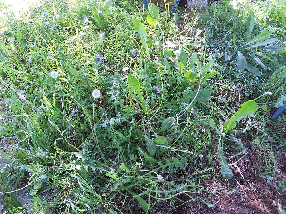 Dandelions among the weeds.JPG