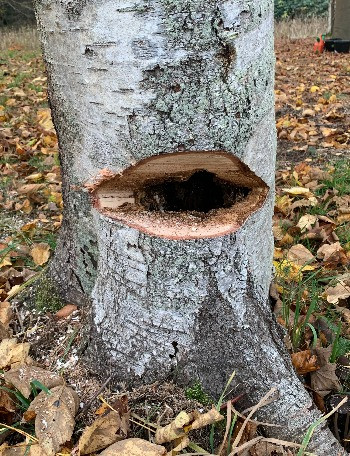 Råd og svamp i træer skal undgås