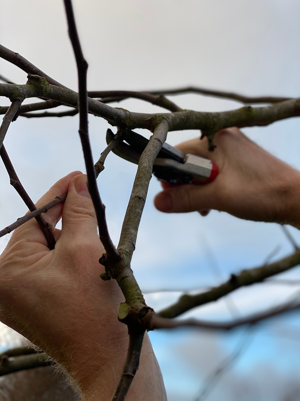 Det rigtige værktøj er det halve arbejde ved beskæring af æbletræer