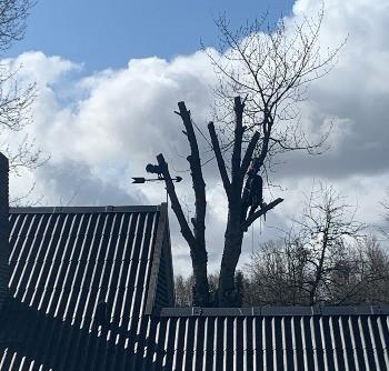 Topkapning af kirsebærtræ