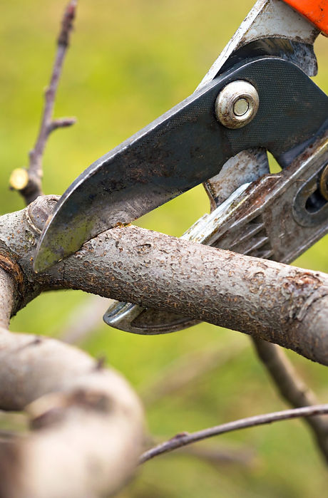 gardener%20pruning%20fruit%20trees%20with%20pruning%20shears_edited.jpg