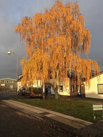 Birketræ tæt ved hus der skal klatres ned