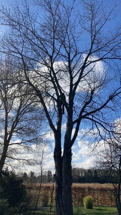 Topkapning af kirsebærtræ når det fældes