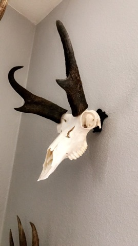Buck Bracket Skull Hooker Antelope