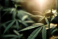 Cannabis, leaves marijuana, plant hemp e