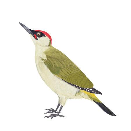 Green_Woodpecker.jpg
