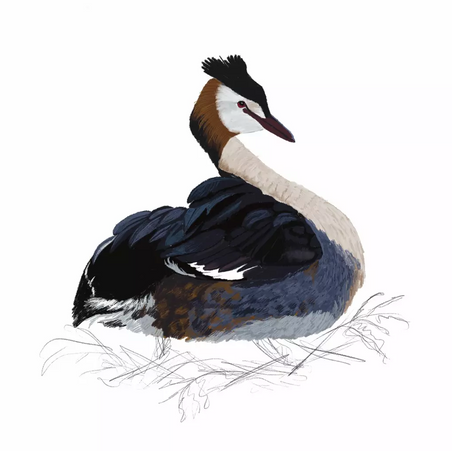 Great Crested Grebe WIP