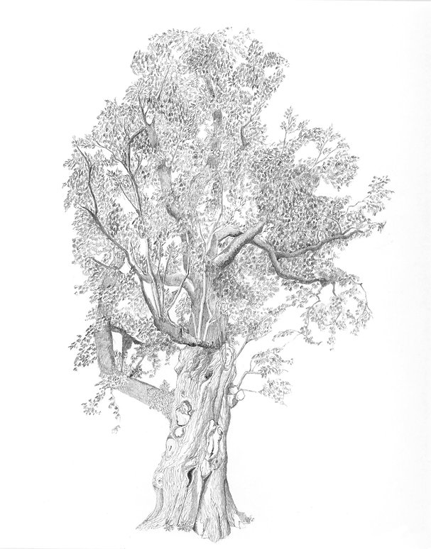 Pencil Drawing of an old, gnarled tree