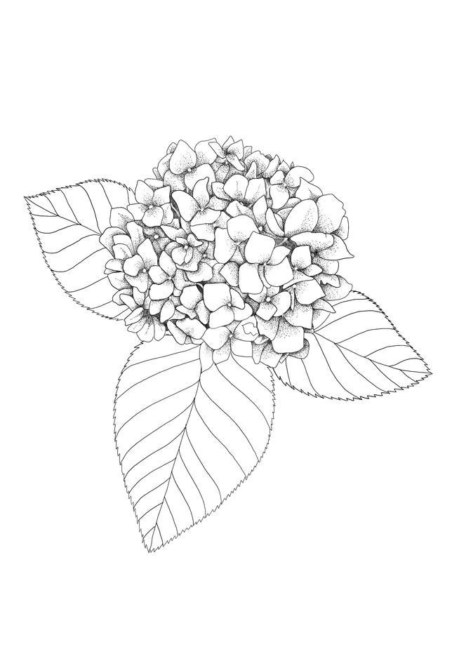 Dotwork Hydrangea Drawing