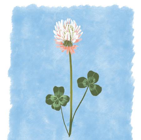 Clover Illustration