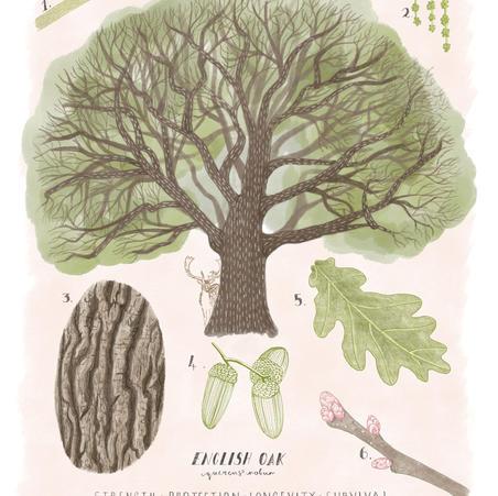 English Oak Identification