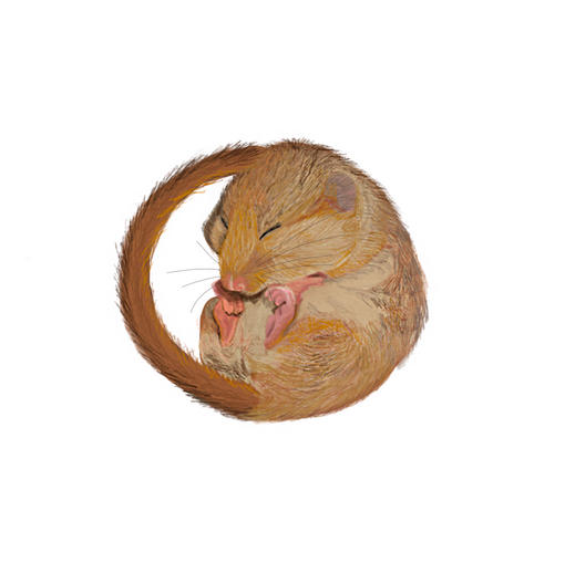 Dormouse Drawing