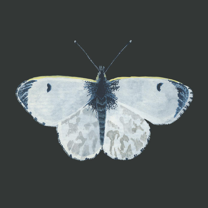 Orange Tip Butterfly (Female)