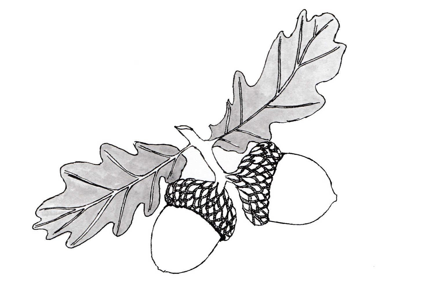 Pair of Acorns Illustration