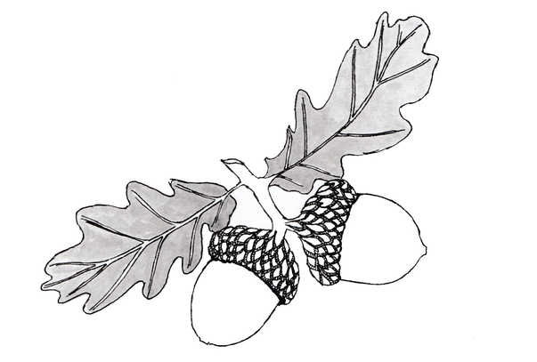 Pair of Acorns Illustration