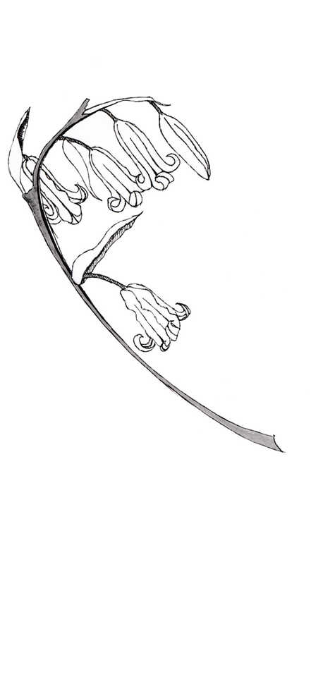 Bluebells Illustration
