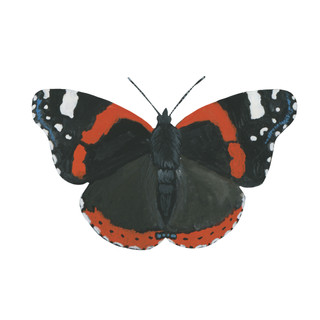 Red Admiral Butterfly.jpg