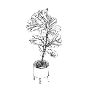Fiddle Leaf Fig Illustration