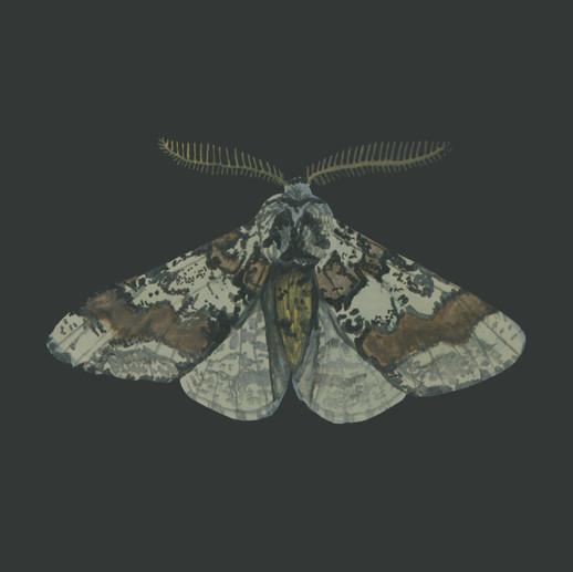 Oak Beauty Moth.jpg