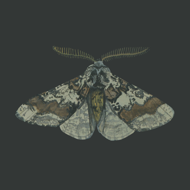 Oak Beauty Moth.jpg