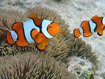 Clown fish pair.jpg