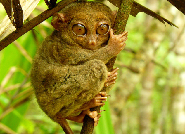 One of Tarsier living on the island