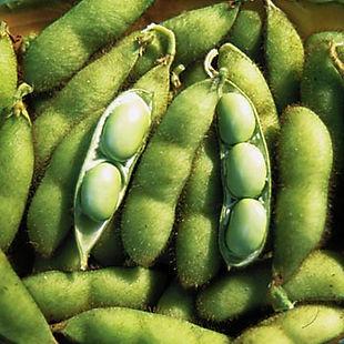 Soybean_Envy.jpg