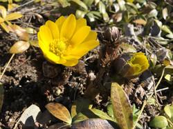 春の使者 福寿草