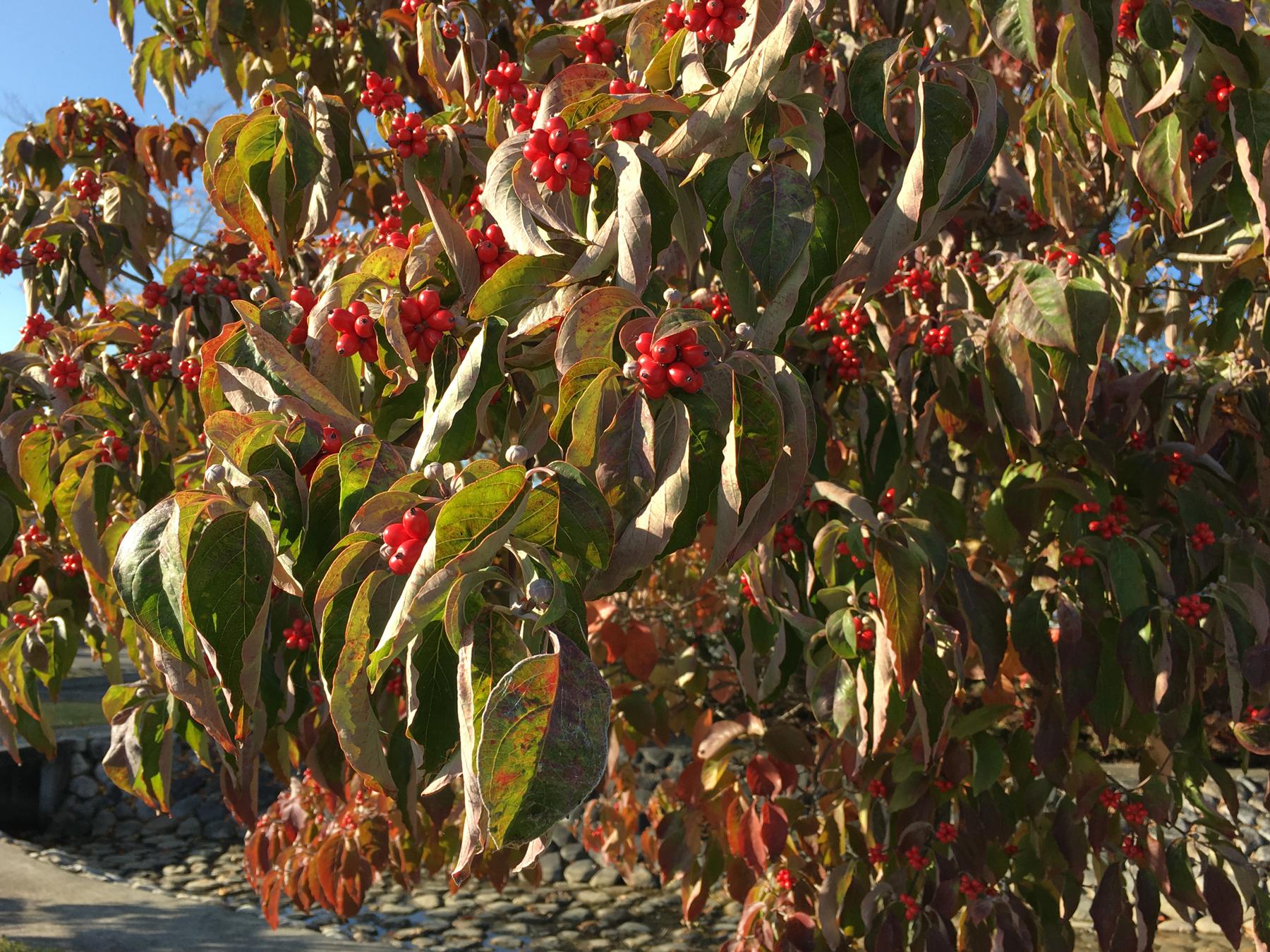 秋の安曇野 紅葉
