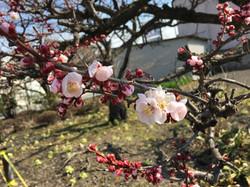 早春の梅とふきのとう