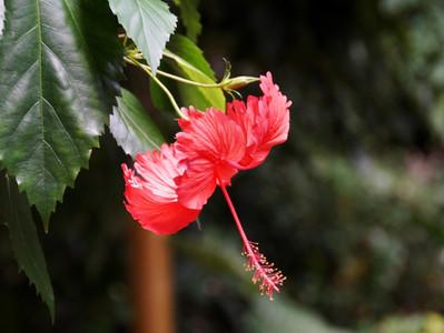 Malvaceae: a família dos hibiscos, paineiras e baobás