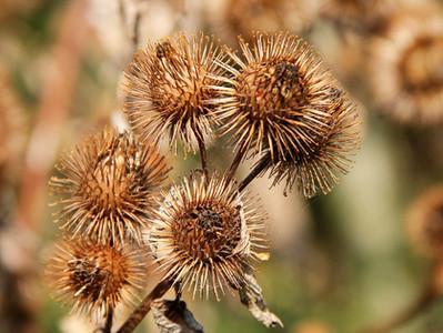 A planta que inspirou a invenção do velcro