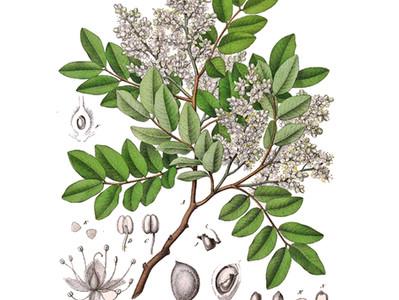 Copaíba: uma árvore terapêutica