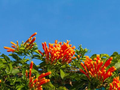 A floração do cipó-de-são-joão
