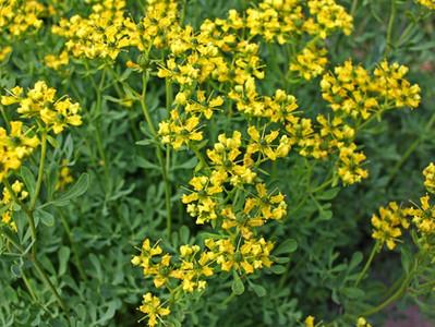Arruda: uma planta repleta de história