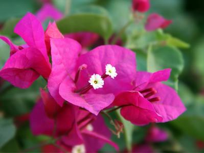 Bougainvillea: a primavera das plantas