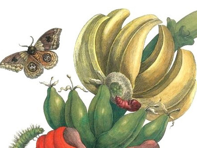 As ilustrações de Maria Sibylla Merian