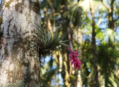 Tillandsia: conheça essa planta epífita