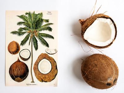 Coqueiro: uma planta muito versátil
