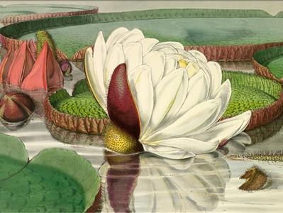 As litografias de Walter Hood Fitch (1817 - 1892)