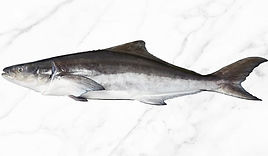 Fresh-Whole-Cobia-head-on.jpg
