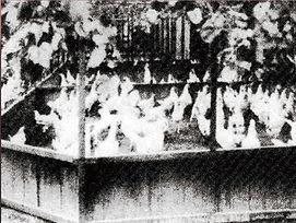 昭和30年頃のブロイラー産業