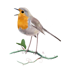 Erithacus rubecula_5.png