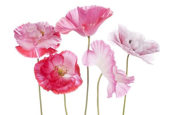 Poppy-3.jpg
