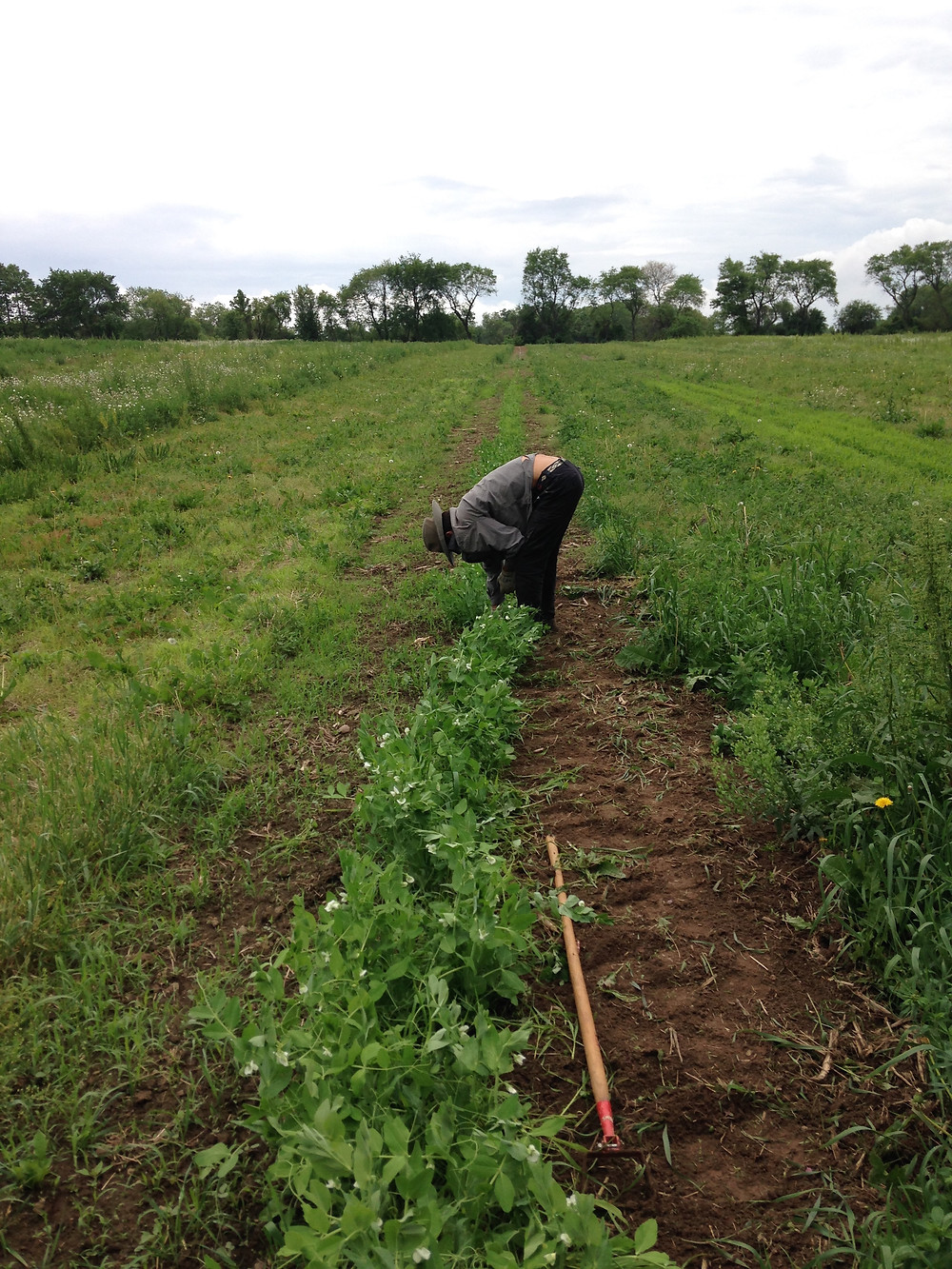 Raul weeding peas