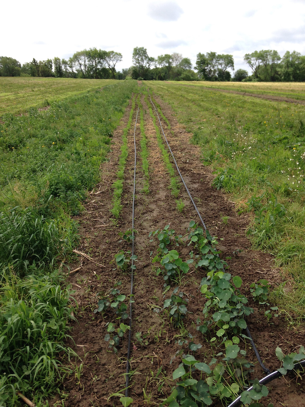 Weeded nasturtiums and carrots
