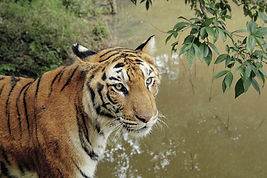 Tiger at Bandhavgarh National Park - India wildlife tours by Jungle Travels India