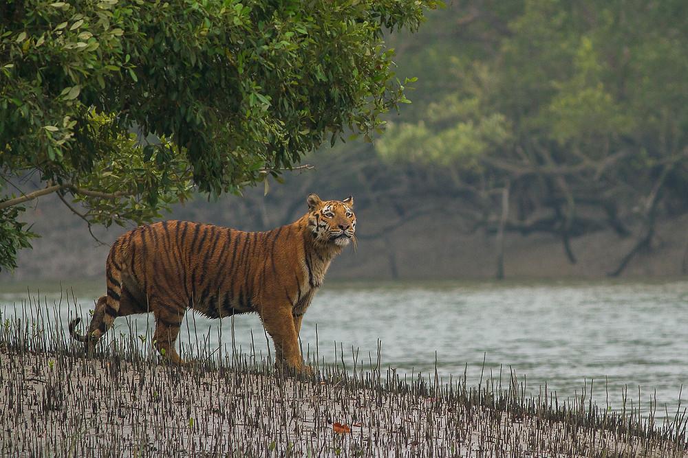 Sundarbans cruise and Royal Bengal Tiger