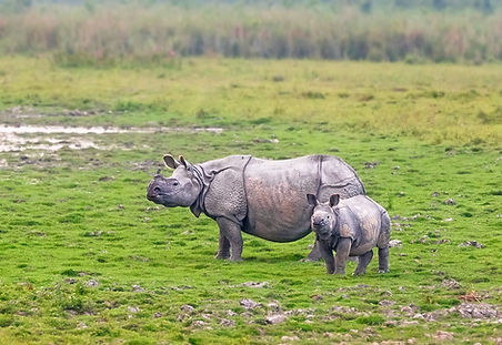 Rhinos in Kaziranga National Park - India wildlife tours by Jungle Travels India