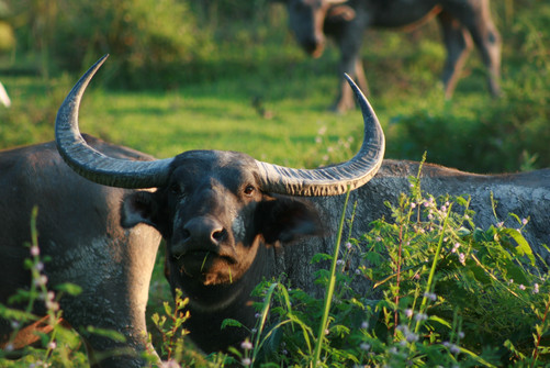 Indian wild water buffalo in Kaziranga